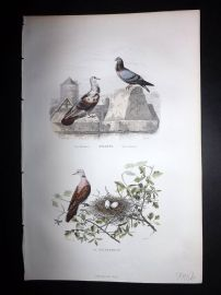 Buffon 1849 Hand Col Bird Print. Pigeon & Dove with Nest